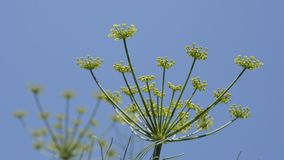 Fennel flowers and buds stock footage