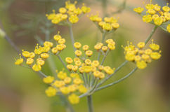 Fennel flowers. Macro of fennel gone to seed in yellow flowers royalty free stock photography