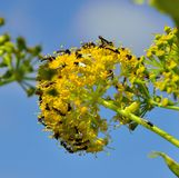 Fennel flowers with swarm of small winged insects Stock Photo