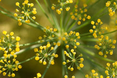 Fennel flowers Royalty Free Stock Photography