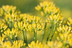 Fennel flowers Stock Photo