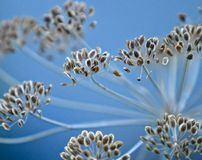 Fennel Foeniculum vulgare Royalty Free Stock Photography