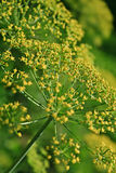 Fennel (Foeniculum vulgare). Close up of a Fennel (Foeniculum vulgare stock photos