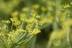 Fennel- foeniculum vulgare Royalty Free Stock Photos