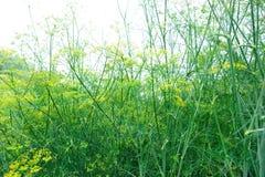 Fennel (Foeniculum vulgare) at garden Stock Image