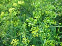 Fennel, Foeniculum vulgare. Herbs, Wild fennel, Foeniculum vulgare stock photo