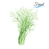 Fennel. Fresh vegetable fennel  on white background Stock Photography