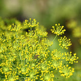 Fennel in garden. Macro of fennel in garden with stamen and green background Royalty Free Stock Photography