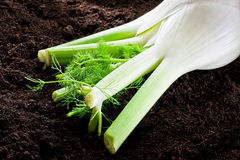 Fennel and ground Stock Photography