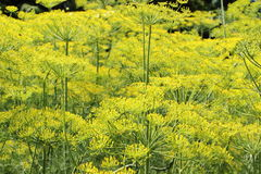 Fennel growing in home garden Stock Images