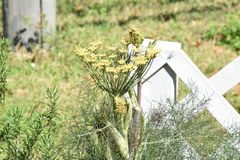 Fennel growing by a white fence Royalty Free Stock Image