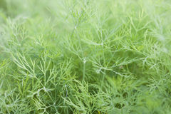 Fennel leafs. Fennel that growth in thailand Stock Photo
