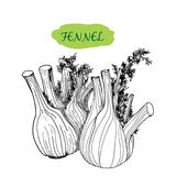 Fennel. Hand drawn graphic illustration Royalty Free Stock Images