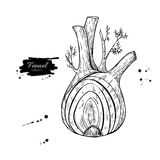 Fennel hand drawn vector illustration. Isolated Vegetable engraved style object with sliced pieces. Detailed vegetarian food drawing. Farm market product Stock Photography