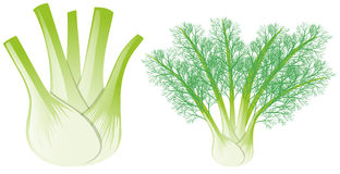 Fennel head and leaves. Illustration Stock Images