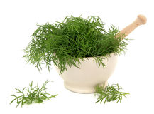 Fennel Herb Stock Image