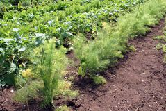 Fennel herb growing in a vegetable garden Royalty Free Stock Photos