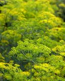 Fennel In Garden Stock Images