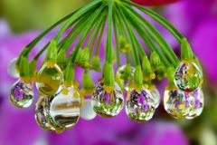 Fennel inflorescence in raindrops royalty free stock photos