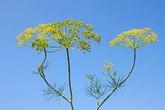 Fennel Inflorescences Stock Photos