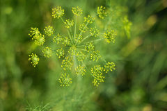 Fennel - inflorescences close up background Royalty Free Stock Photo