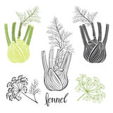 Fennel, isolated  elements on a white background. Royalty Free Stock Photography