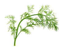 Fennel Leaf Royalty Free Stock Photo