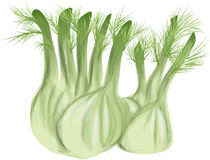 Fennel. With leaves  on white background Stock Image