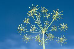 Fennel over blue sky. Close-up yellow fennel flower over blue sky royalty free stock image