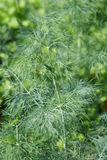 Fennel plant Stock Images