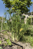 Fennel plant Royalty Free Stock Images