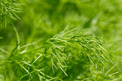 Fennel plants Royalty Free Stock Images