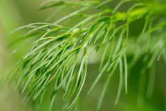 Fennel plants Royalty Free Stock Photos