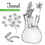 Fennel. Root and seeds. Hand drawn sketch vector illustration isolated on white background.  Doodle design cooking ingredient.  Seasoning spice herb.  Product Stock Photo