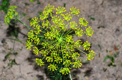 Fennel for salad in the garden. Fennel with yellow flowers in the garden Royalty Free Stock Photo