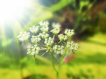 Fennel seed flowering top in the sunny day light. Fennel seed flowering top in the sunny day light in the field Stock Photography