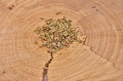 Fennel seeds on a cross-cut a tree. ! Stock Images