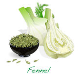 Fennel seeds on white background. Fennel root and seeds vector on white background Royalty Free Stock Images