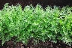 Fennel on soil Royalty Free Stock Photography