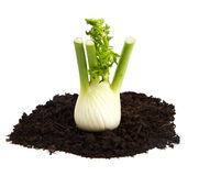 Fennel on soil humus bed isolated on white background Stock Photography