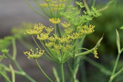 Fennel. Is a sweet-scented herb used for food and medicine royalty free stock photos