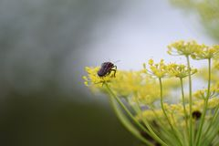 Fennel. Is a sweet-scented herb used for food and medicine royalty free stock image