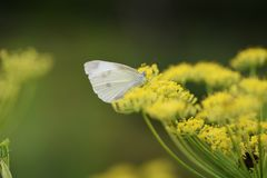 Fennel. Is a sweet-scented herb used for food and medicine royalty free stock photo