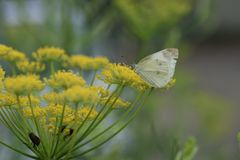 Fennel. Is a sweet-scented herb used for food and medicine stock photo