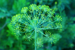 Fennel umbrella with yellow flowers Royalty Free Stock Photos