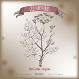 Fennel vector color hand drawn sketch on vintage background. Foeniculum vulgare aka fennel vector color hand drawn sketch on vintage background. Culinary herbs Stock Photo