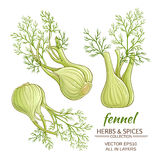 Fennel vector set. Fennel roots vector set on white background Stock Photos