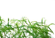 Fennel on a white background Royalty Free Stock Photos