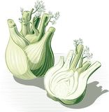 Fennel whole and one cut in half. Fennel whole and one cut in half leaning against a table Stock Photos