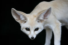 Fennic Desert Fox with Large Ears Royalty Free Stock Images